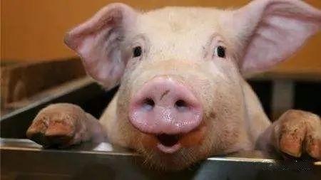 """火爆!上半年新增6177个规模猪场,这个""""刚需""""不够抢"""