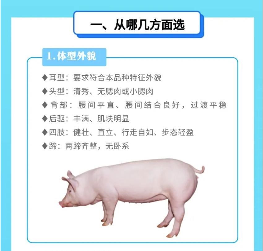 超详细!一图教你怎么选到好种猪