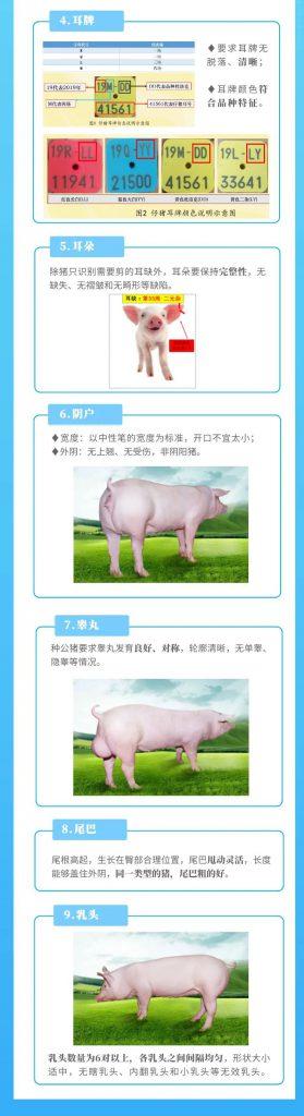 继续警惕!做好种母猪饲养管理让猪场生产事半功倍