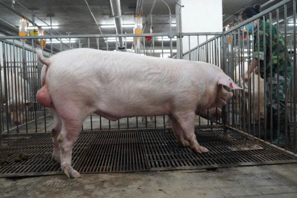 豪华单间、定制餐、定期体检...来围观猪的幸福生活