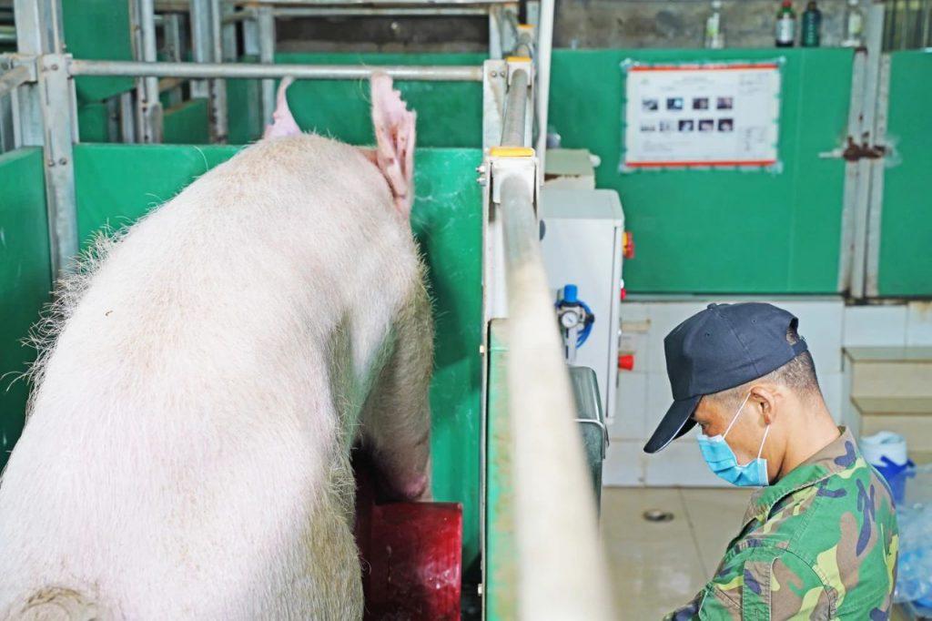 小机器大用处!让母猪生出潜力满满的下一代